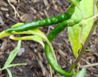 Cayenne-pepper-200w