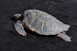 DSC_0012 / turtle on Hawaiian beach
