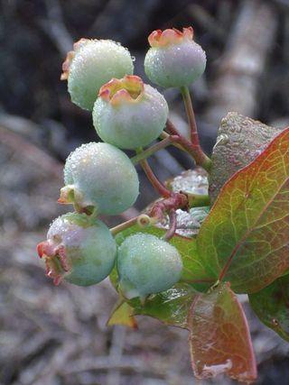 Blueberries_1