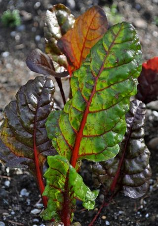 baby colored chard