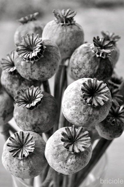 dried poppy seed capsules