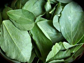 fava bean leaves