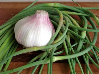 garlic head and scapes