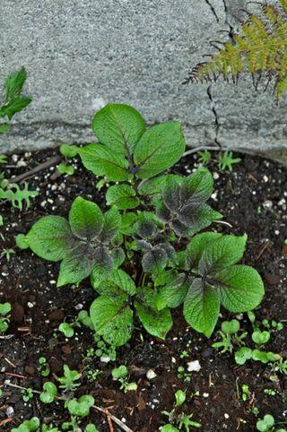purple potato plant