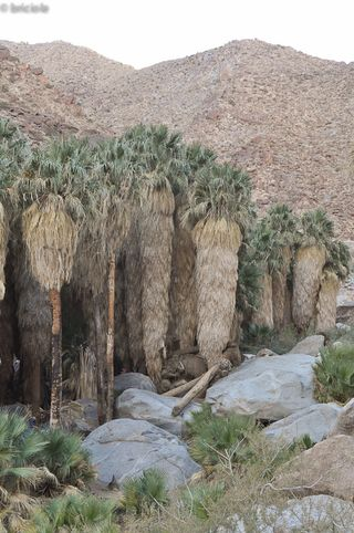 Oasis in Palm Canyon, Anza-Borrego Desert