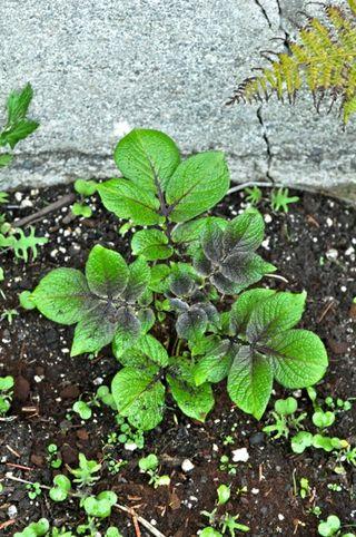 purple majesty potato plant