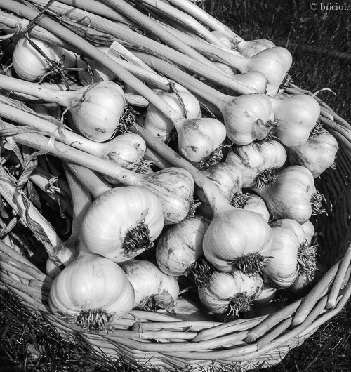 IMG_1789 / freshly harvested garlic