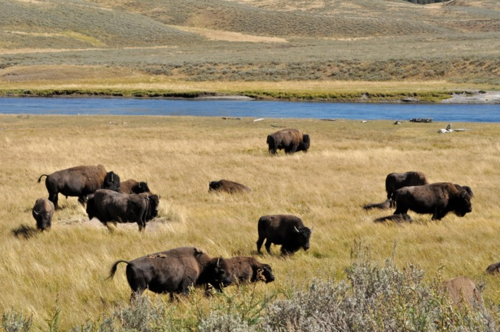 Bison grazing along the Yellowstone River