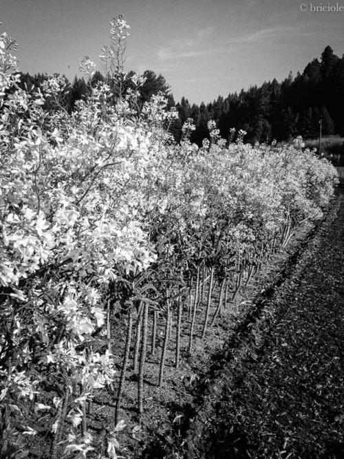 blooming Tuscan kale