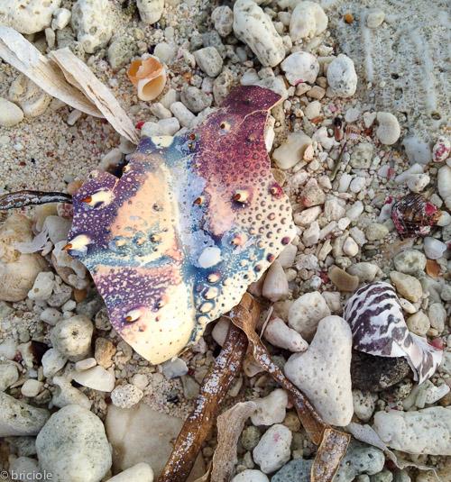 IMG_1842 / Caribbean spiny lobster shell on beach