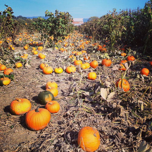 pumpkin patch at Warren Creek Farms / IMG_4106