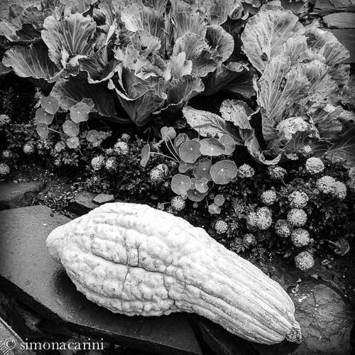 IMG_1927 / Hubbard squash and cabbage