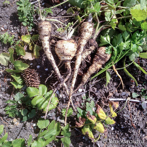 freshly dug parsnip / IMG_4106