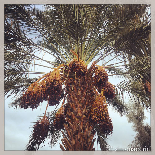 date palm in Thermal, CA / IMG_2567
