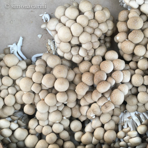 brown beech mushrooms / IMG_2813